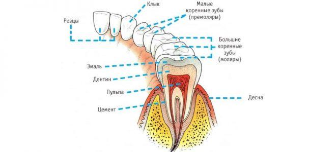 Сколько у взрослого здорового человека зубов
