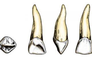 Виды зубов у человека