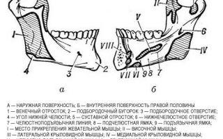 Нижняя челюсть анатомия