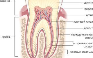 Чем отличается молочный зуб от коренного