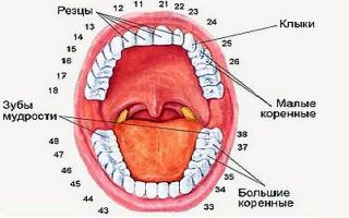 Сколько резцов во рту здорового человека