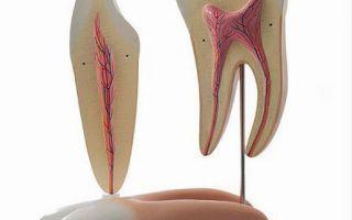 Виды зубов человека