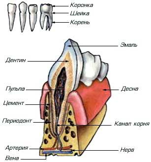 Правильная форма зубов - 32Дента