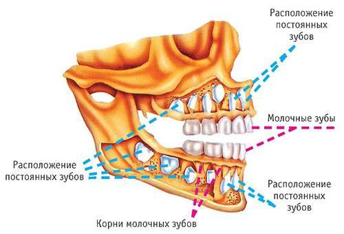 Схема прорезывания молочных и коренных зубов