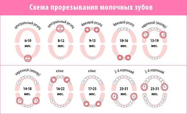 таблица прорезывания зубов угрудничков