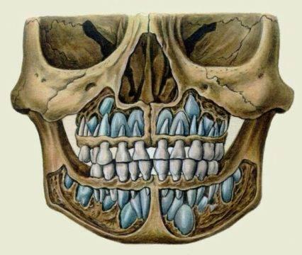 Так выглядит череп перед сменой зубов