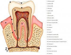 Строение зубов у взрослого человека