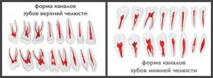 Количество корней у зубов человека