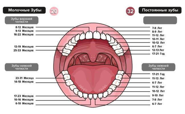 Схема прорезывания молочных и постоянных зубов