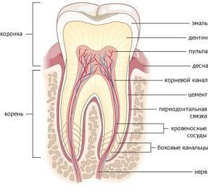 Зуб в разрезе многослоен