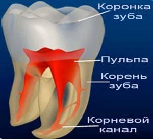 Строение зуба, где пульпа