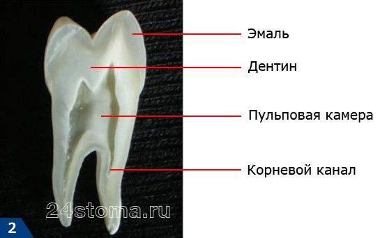Строение зуба мудрости